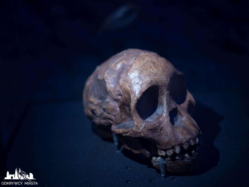 Muzeum Historii Naturalnej czaszka pierwszych ludzi