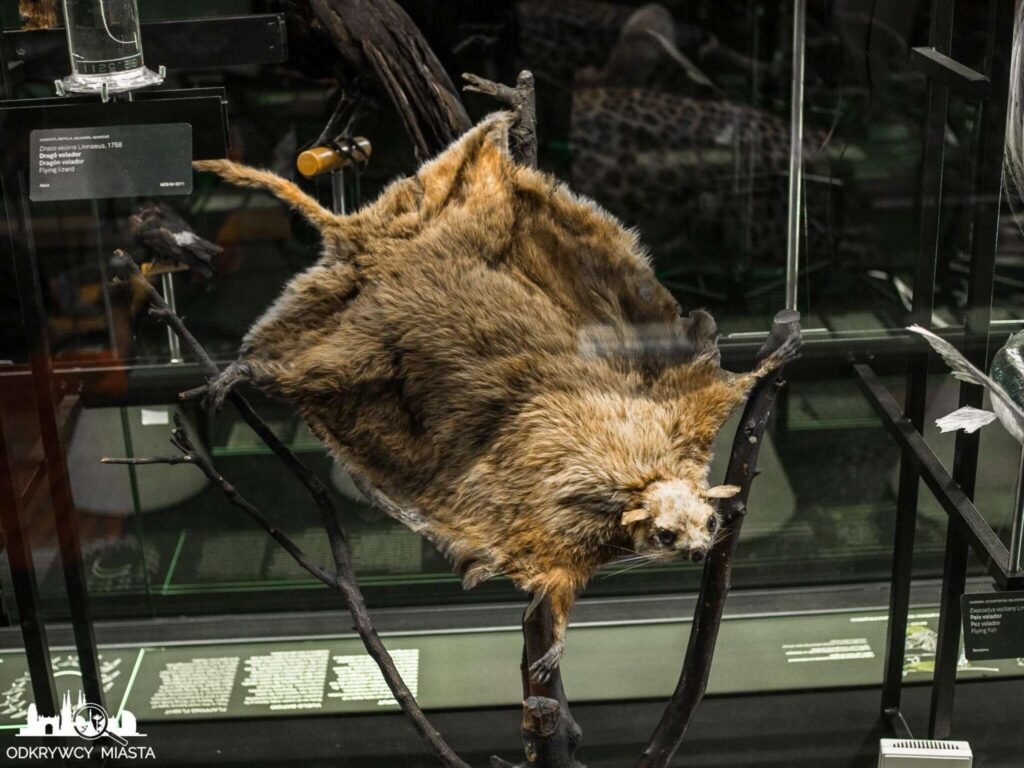 Muzeum Historii Naturalnej latająca wiwiórka
