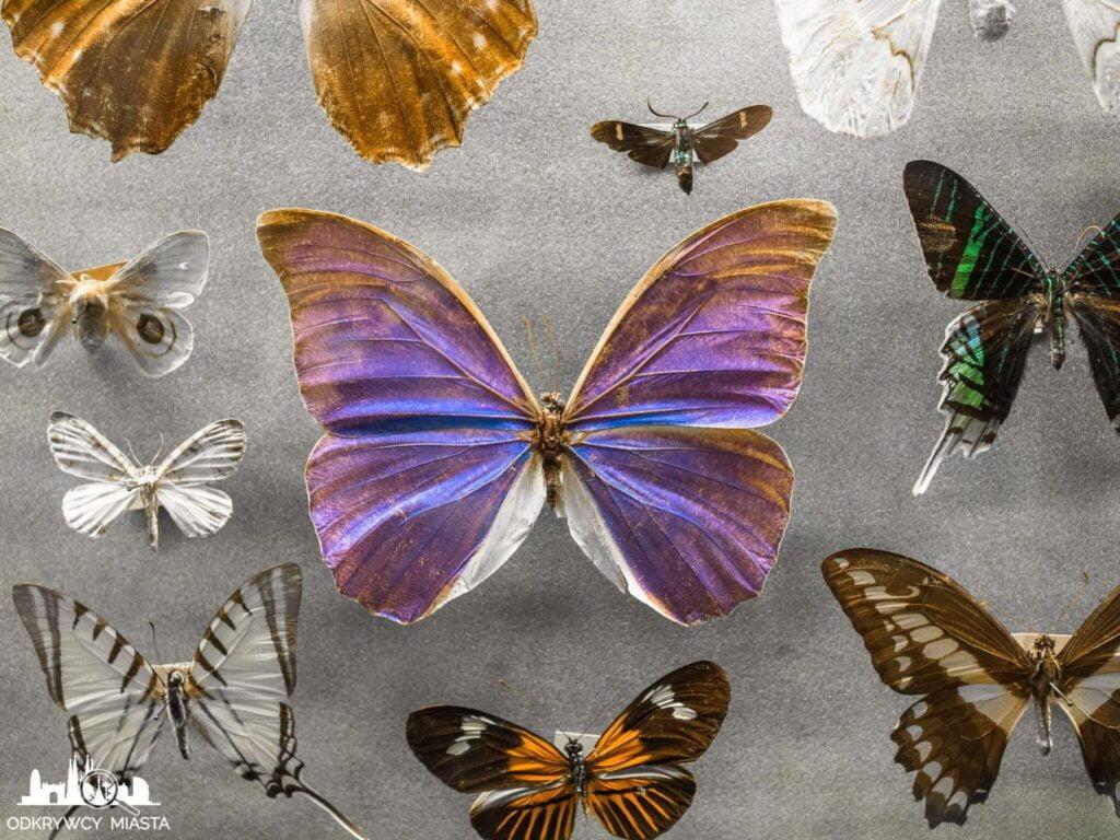 Muzeum Historii Naturalnej kolorowe motyle