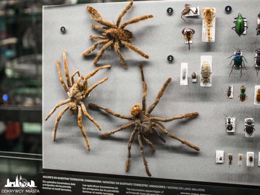 Muzeum Historii Naturalnej pająki olbrzymie