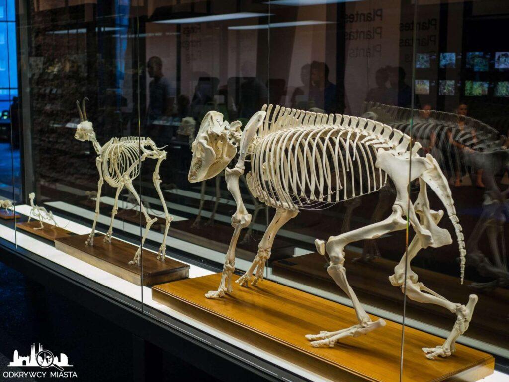 Muzeum Historii Naturalnej szkielety zwierząt