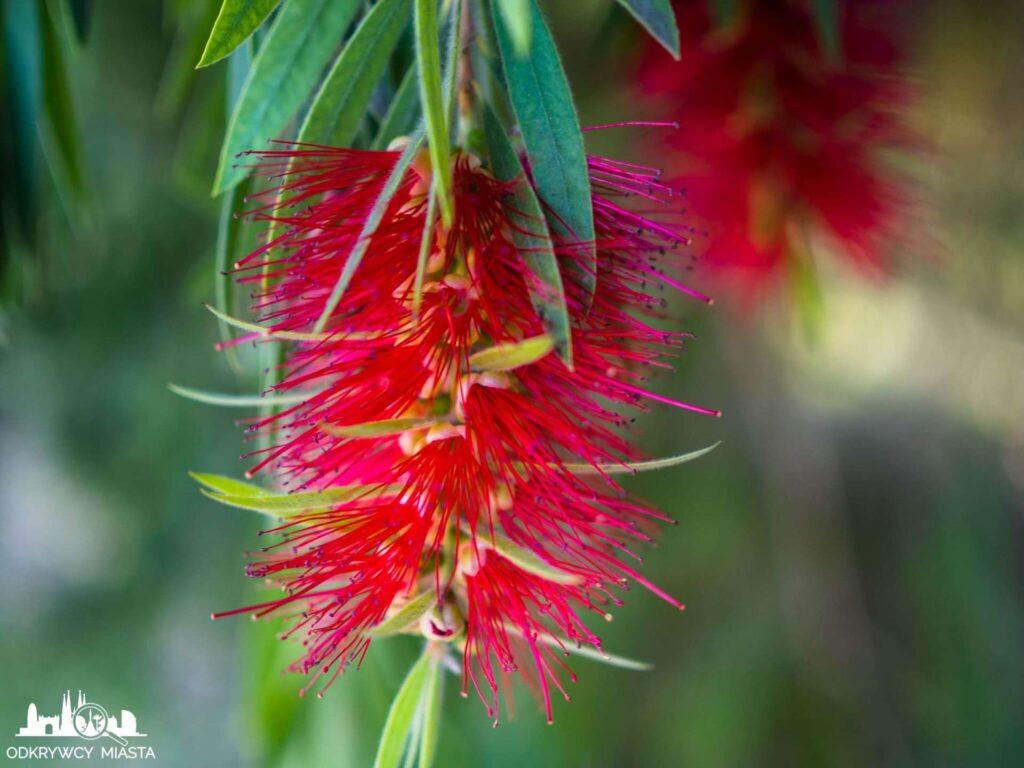 Ogród botaniczny w Barcelonie czerwony kwiat z ręcikami