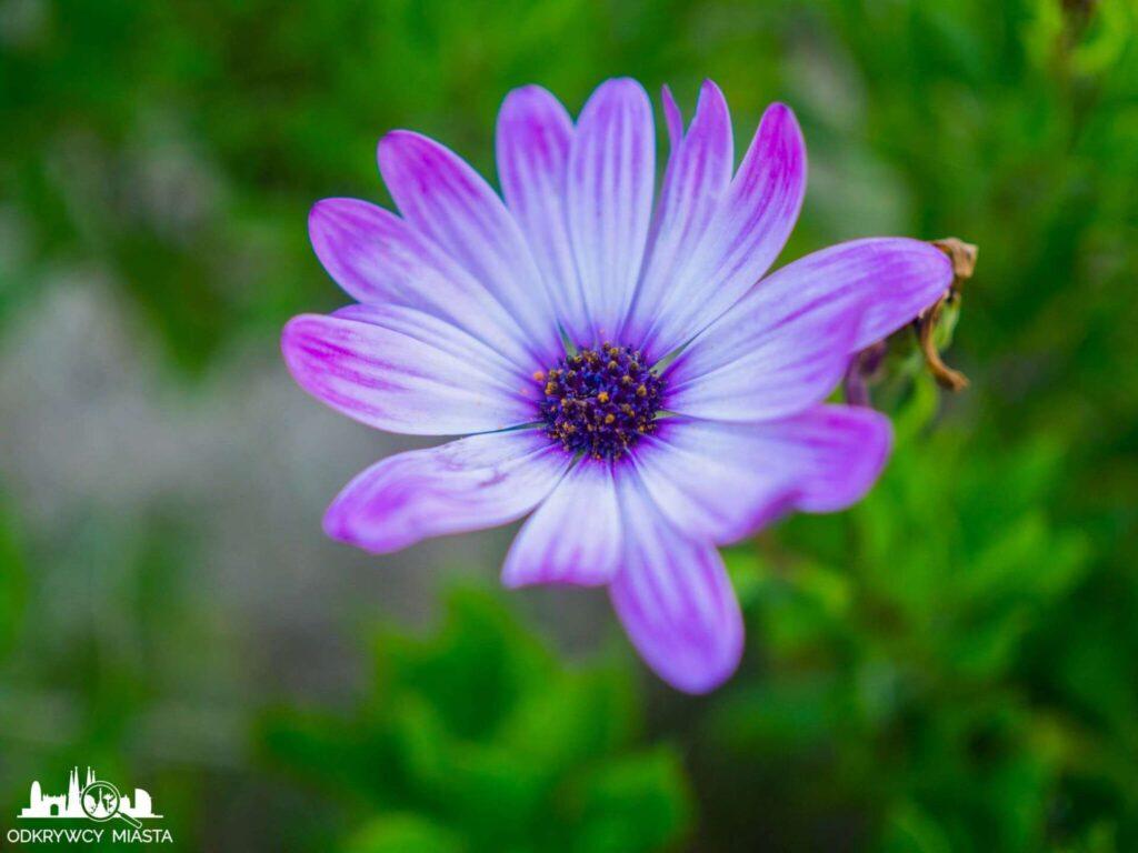 Ogród botaniczny w Barcelonie fioletowy kwiat