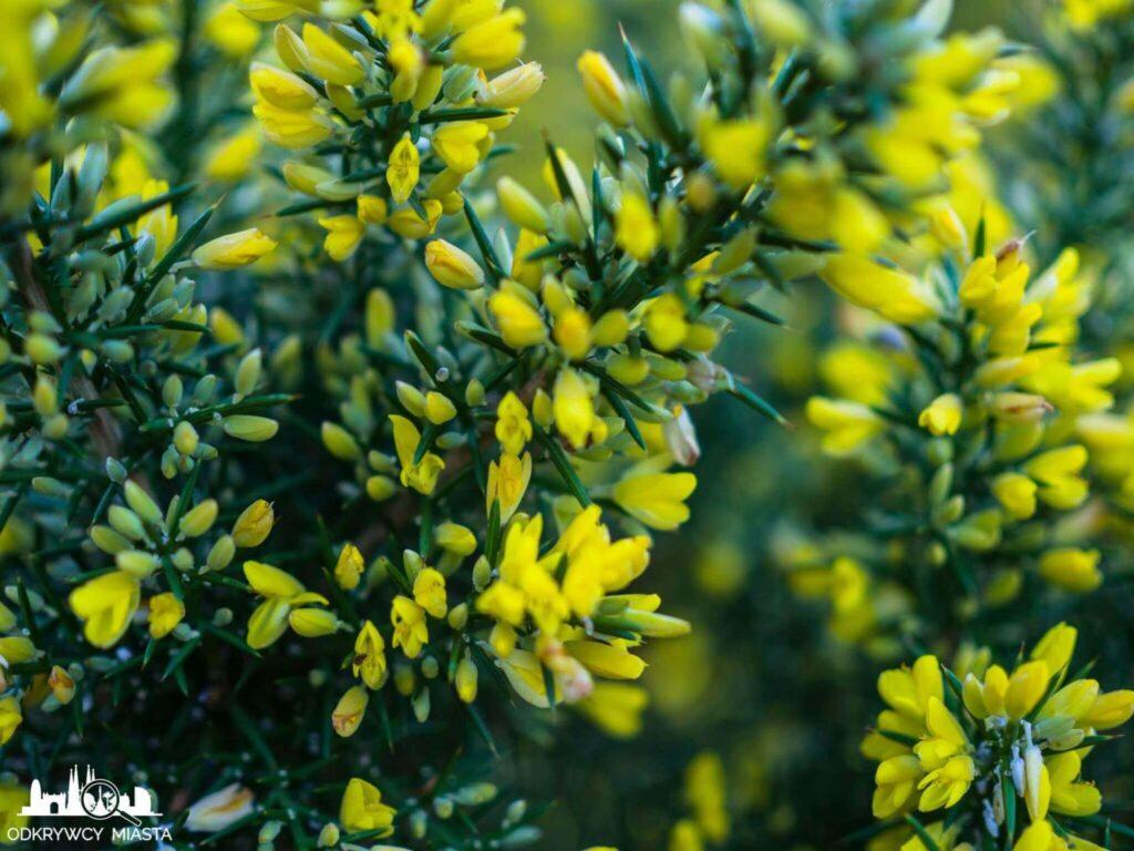 Ogród botaniczny w Barcelonie małe żółte kwiatki na gałęzi