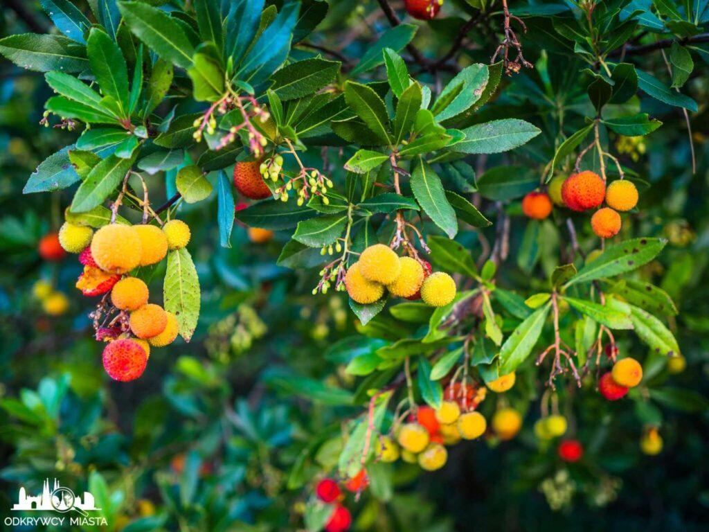 Ogród botaniczny w Barcelonie małe kolorowe owoce