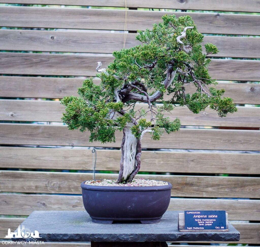 zielone bonsai