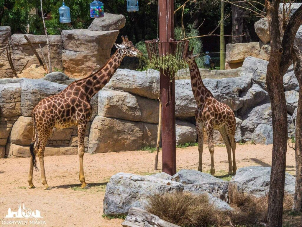 żyrafa w barcelońskim zoo
