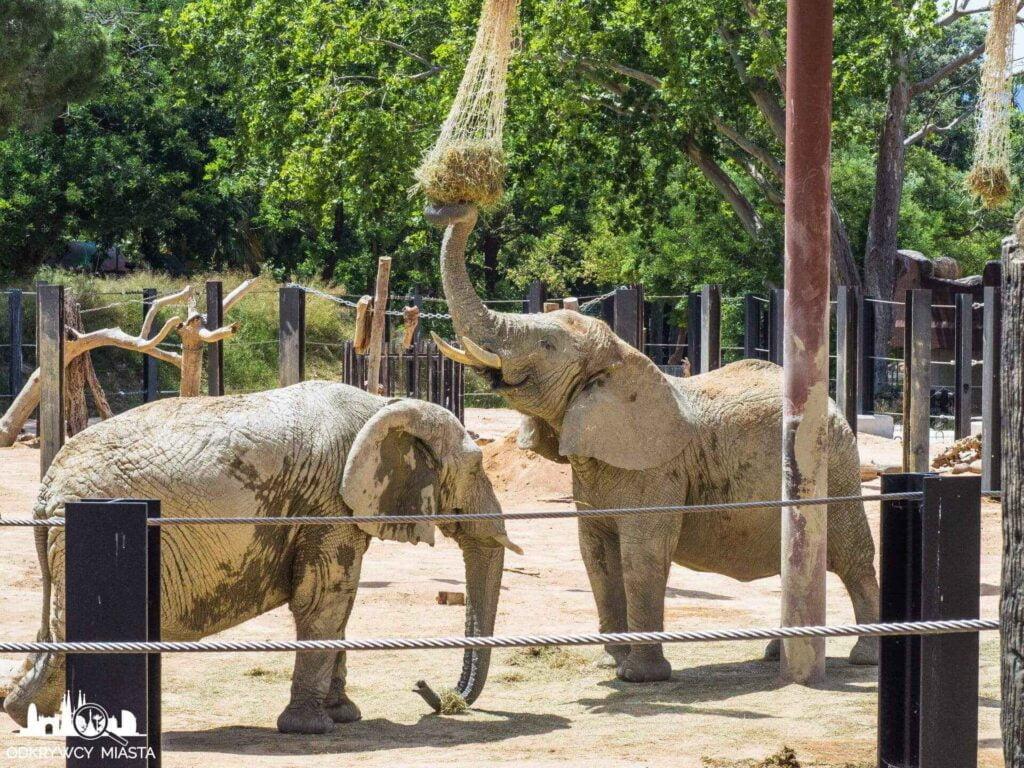 słonie w Barcelońskim zoo