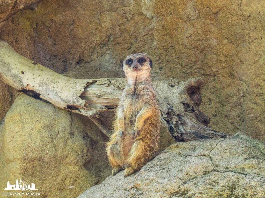 surykatki w barcelońskim zoo