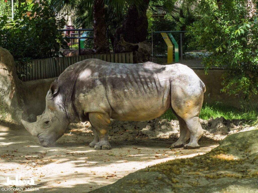 nosorożec w barcelońskim zoo