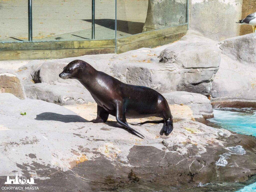 foka w barcelońskim zoo